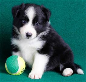 Merle Border Collie Puppies Ontario